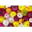 Fotografia, na której jest Fototapeta REBEL WALLS | Ranunculus