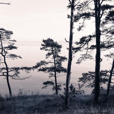 Fotografia, na której jest Fototapeta REBEL WALLS | Old Pine Trees